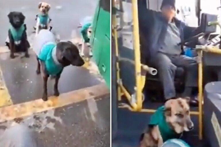 perros buses vule